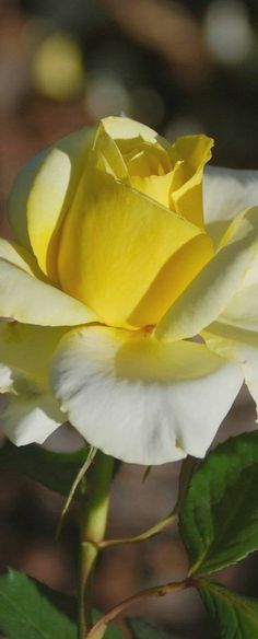 Soft Yellow Rose.... Your Yellow Rose  Of Texas