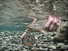 Nice brown of the Manso river. A photo take by my friend-guide Lucky bacci, retouched by me. - GFFpix - share your best flyfishing pictures - Global FlyFisher