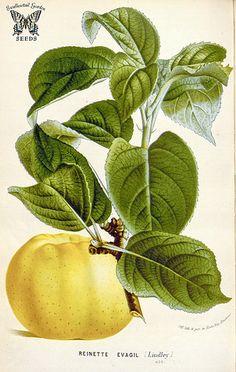 Apple 'Reinette Evagil'. Malus pumila. Flore des serres et des jardin de l'Europe, vol. 16 (1865-1867)