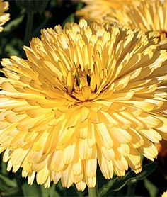"""Calendula 'Lemon Cream' - Very easy to grow and self-seeds. Petals and leaves are edible and excellent in salads. Height 20-24"""""""