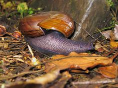 Met the Powelliphanta snail - a large, air-breathing, carnivorous land snail endemic to New Zealand. Photo: John Mason