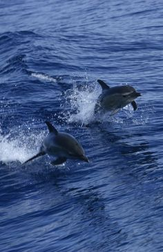 Dolphins are intelligent and playful animals and will often follow boats, diving in the waves made in their wake. #WorldOceansDay
