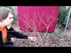 Stříhání borůvek Vaccinium Corymbosum, borůvka DUKE