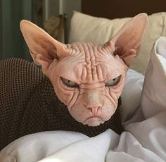 Animals Discover Meet Loki: The Worlds Grumpiest Sphynx Cat - Cat& - Baby Animals Funny Animals Cute Animals Cool Cats I Love Cats Beautiful Cats Animals Beautiful Spinx Cat Loki Cute Funny Animals, Funny Animal Pictures, Cute Baby Animals, Cute Cats, Funny Cats, Animals And Pets, Wild Animals, Pretty Cats, Beautiful Cats