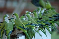 Monk Parakeets Originally escapees from pet sellers, now large flocks dwell in Brooklyn in Greenwood Cemetary and in the Ivy of Brooklyn College Campus. Monk Parakeet, Parakeet Bird, Parrot Bird, Cute Birds, Pretty Birds, Beautiful Creatures, Animals Beautiful, Animals And Pets, Cute Animals