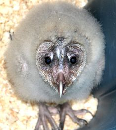 Is this baby barn owl cute or ugly? Find it and 9 more baby animals on the Top Ten Ugliest Animal Babies.