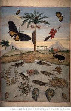 [Illustrations de Veranderingen der Surinaemsche Insecten...] / Maria Sybilla Merian, dess., aut. du texte ; I. Mulder, P. Sluyter, D. Stoopendaat, grav. - 75