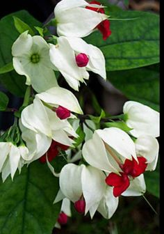Bleeding Heart Glory Bower