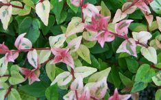 Mardi Gras Dwarf Abelia - Abelia grandiflora 'Mardis Gras' - 3 Gallon - - Shrubs for Winter Color Evergreen Shrubs, Flowering Shrubs, Trees And Shrubs, Backyard Plants, Backyard Landscaping, Deer Resistant Shrubs, Flowers That Attract Butterflies, Shrubs For Privacy, Buy Plants Online