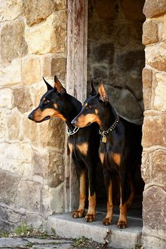 pinterest doberman | Via Leah Petesch