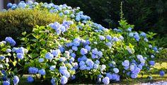 Shrubs For Landscaping, Smooth Hydrangea, Hydrangea Quercifolia, Landscape Borders, Foundation Planting, Plant Diseases, Magnolia Trees, Hedges, Amazing Gardens