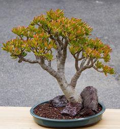 A pair for the Jade lovers Jade Bonsai, Succulent Bonsai, Cacti And Succulents, Planting Succulents, Cactus Plants, Jade Tree, Plantas Bonsai, Bonsai Styles, Crassula Ovata