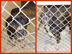 URGENT #FOUNDDOG 12-28-13 #KENANSVILLE #NC MALE BLACK AND WHITE #BULLDOG MIX #MASTIFF #CATTLEDOG AVAILABLE FOR ADOPTION 12-31-13 910-296-2159 https://www.facebook.com/photo.php?fbid=696222643744024&set=a.421690457863912.103079.146938068672487&type=1