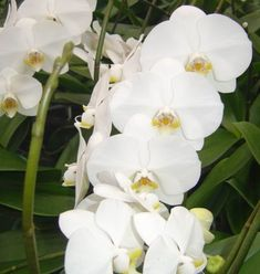 Growing Orchids 101 by Jim and Laura Phalaenopsis Orchid, Orchid Plants, All Plants, Indoor Plants, Indoor Orchids, Orchids Garden, Indoor Garden, Red Orchids, Types Of Orchids