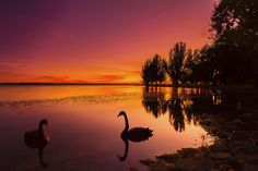 Silhouette in Pink - Silhouette of black swans on Lake Wendouree - Ballarat prior to sunrise