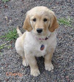 Cute Golden puppy, Liberty