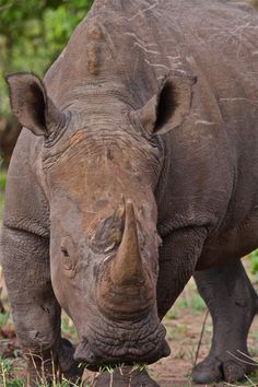 #Rhinos in #Africa have been hit hard by #poaching. We need to act now to save this iconic species. Get the facts and get involved today! Photo credit: Craig R. Sholley.