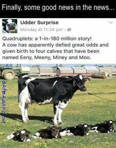 Gap Ba Gap: Funny Joke About A Cow vs. Odds