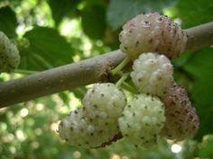gelsi bianchi - sono dolcissimi - è il mio frutto preferito