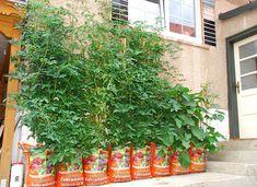 Paradajky zarodia aj v strede chodníka - Žena SME Container Gardening, Fruit, Container Garden