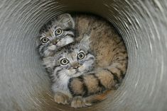 Think you know everything about the Pallas Cat? Pallas Cats are cute, mysterious, and fascinating. Beautiful Cats, Animals Beautiful, Felis Manul, Cute Cats, Funny Cats, Animals And Pets, Cute Animals, Pallas's Cat, Chemistry Cat