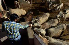 #India #bans sale of cows for #slaughter...