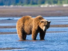 Bears as Art and Social Criticism: Self-Sufficiency - Mike Errico Call Of The Wild, Animals Images, Brown Bear, Cool Places To Visit, Animal Photography, Bears, National Parks, Canada, Safari