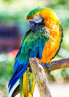 Catalina Macaw. A hybrid produced by a scarlet macaw & a blue/gold macaw. Love the pose