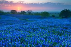 The stunningly beautiful photography of Laura Vu, Fort Worth, TX. I feel as though I could step right into this field of bluebonnets. Would that it were so...