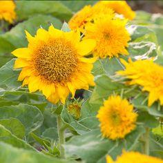 Dwarf Sungold Sunflower Flowers