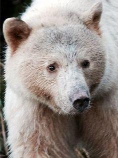 Pizzly bear (polar+grizzly bear)