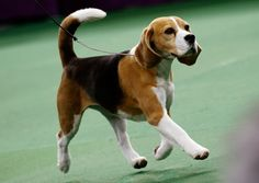The sights and barks of the Westminster Kennel Club Dog Show, in pictures
