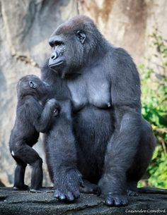 Here is a funny animals compilation. Most of it consists of cute animals doing funny things. Primates, Cute Baby Animals, Animals And Pets, Funny Animals, Silverback Gorilla, Baby Gorillas, Ape Monkey, Mountain Gorilla, Wild Creatures