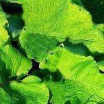 COADA-CALULUI – o plantă-minune cu zeci de utilizări terapeutice | La Taifas Diabetes, Plant Leaves, Plant