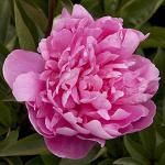How to Grow Peonies - Sunset Mobile