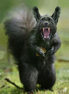Black squirrel by on DeviantArt Bizarre Animals, Animals And Pets, Funny Animals, Cute Animals, Ocelot, Photoshopped Animals, Black Squirrel, Animal Mashups, Ipad Art