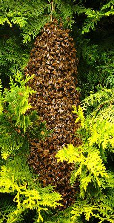 Honingbij van vroegevogels