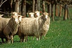 Finnsheep | Sheep Breed Info. - Raising Sheep