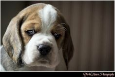 Beagle Puppy by Beagle_Crazy, via Flickr
