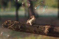 Adorable Hamsters That Will Cause A Cuteness Overload Baby Animals, Funny Animals, Cute Animals, Funniest Animals, Wild Animals, Cute Hamsters, 10 Picture, Chinchilla, Cute Photos