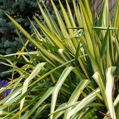 COLOR GUARD YUCCA  The yellow-centered, variegated leaf brightens to a creamy gold in midsummer. Each 3 foot clump is topped with a 6 foot stalk of white flowers in May.