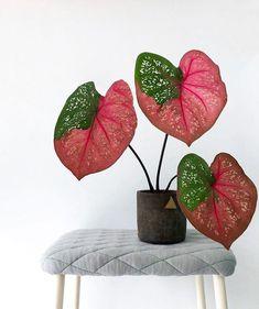 "Thejoyofplants op Instagram: ""Hoe mooi is deze #caladium #plant Deze rode ...  #caladium #instagram #plant #thejoyofplants"
