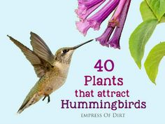 There are a lot of choices for plants that attract hummingbirds to the garden. The goal, of course, is not only to get their attention but encourage them to stay a while. Here are 40 Plants That Attract Hummingbirds. Hummingbird Flowers, Hummingbird Garden, Hummingbird Nectar, Outdoor Plants, Garden Plants, Sun Plants, Garden Shade, Flowering Plants, Succulent Plants