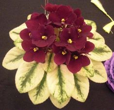 "I love african violets.  This one is from the Violet Barn and it is called ""Jolly Jubilee."""