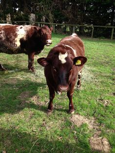 Val the house cow and her calf Kiki in May 2014. In June they returned to their previous owner near Chirk. With Jon's terminal diagnosis we had to make hard decisions #facingup2KC  We still miss them.