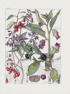 Deadly Nightshade, Woody Nightshade from Botanical prints by H. Isabel Adams 1907
