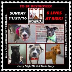TO BE DESTROYED 11/27/16 - - Info  Please Share:   To rescue a Death Row Dog, Please read this:http://information.urgentpodr.org/adoption-info-and-list-of-rescues/   To view the full album, please click here: http://nycdogs.urgentpodr.org/tbd-dogs-page/ -  Click for info & Current Status: http://nycdogs.urgentpodr.org/to-be-destroyed-4915/