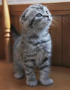 Scottish Fold Munchkin kittens for sale