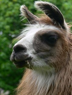 llamas have such charming characters ~ llamasintheraw.com