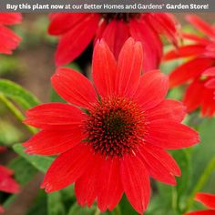 The Sombrero series of coneflowers features stunning, color-rich blooms. This collection is a group of brightly colored single-flower echinaceas that are well-branched and compact.